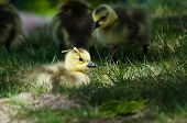 picture of pine-needle  - Newborn Gosling Wearing a Pine Needle Hat