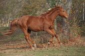 picture of running horse  - Beautiful chestnut horse running alone in autumn  - JPG