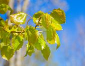 pic of alder-tree  - alder tree branch blooming leaves against the blue sky - JPG
