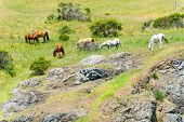 foto of eat grass  - Many horses standing on a hill eating grass - JPG