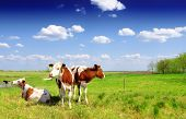 pic of calves  - Calves on the field - JPG