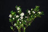 image of gardenia  - Branch gardenia on black background - JPG