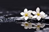foto of gardenia  - Two white gardenia and green leaf with therapy stones - JPG