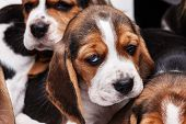 picture of puppy eyes  - Sad Beagle Puppy 1 month old - JPG