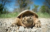 image of mud  - Common snapping turtle covered in dried mud crossing a country gravel road - JPG
