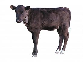 stock photo of calf  - Beautiful black little pretty calf isolated over white background - JPG
