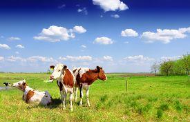 image of calf  - Calves on the field - JPG