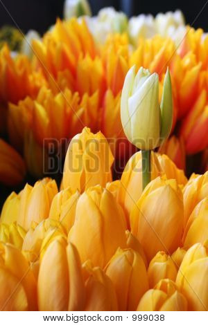 Pikes Tulips1