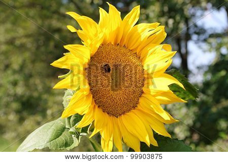 Bumblbee On Sunflower