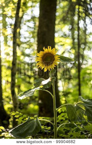 Beautiful Yellow Sunflower Blooming