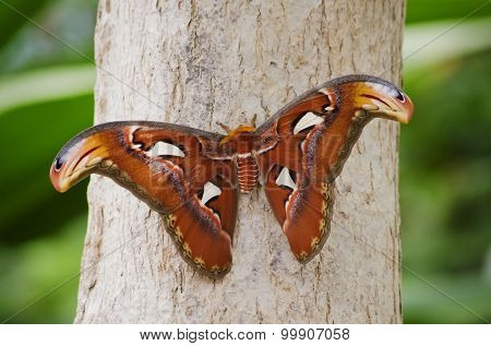 Butterfly Attacus Atlas