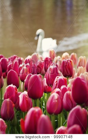 Swan And Tulip Flowers