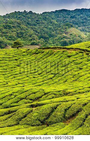 Green Tea Plantation, Cameron Highlands, Malaysia