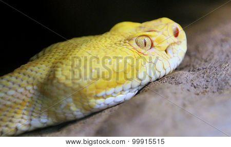 Yellow Snake Viper