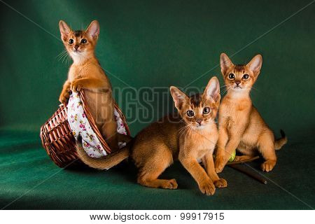 group of abyssinian cats on dark green background