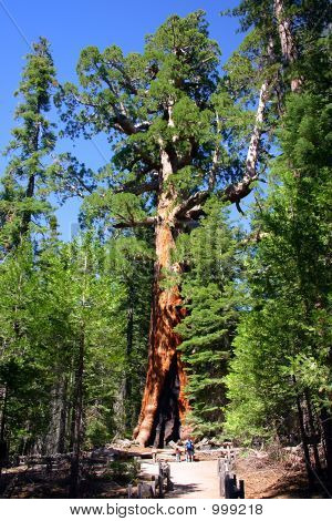 The Grizzly Giant, Mariposa Grove