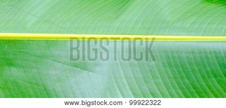 Banana Leaf Texture Background