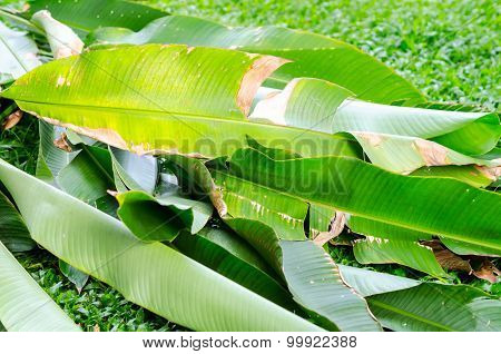 Banana Leaves On Stone Path And Grass