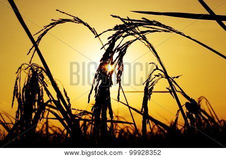 Silhouette Rice Plant