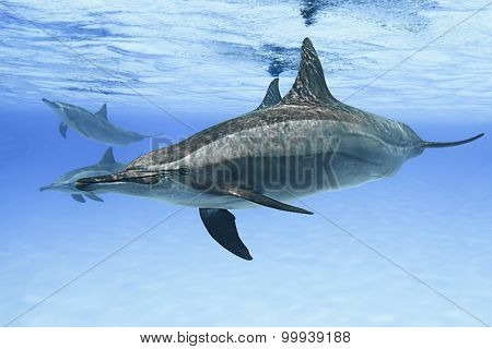 Spinner dolphins in nature.
