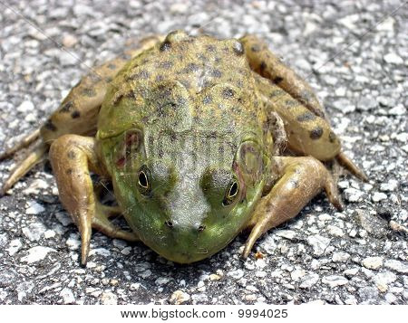 Dirty Green Frog