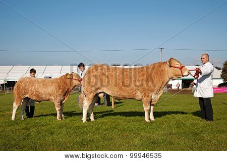 Cattle lineup