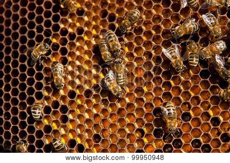 Close Up View Of The Working Bees And Collected Pollen In The Honeycomb.