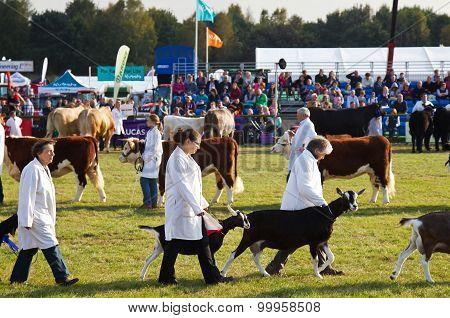 Livestock grand parade
