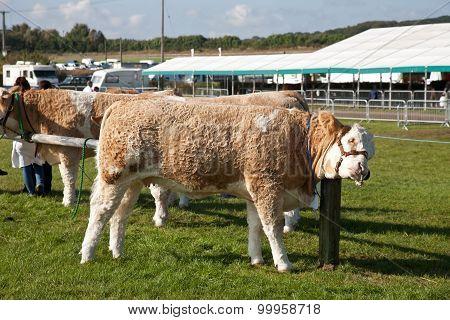 Tied up livestock