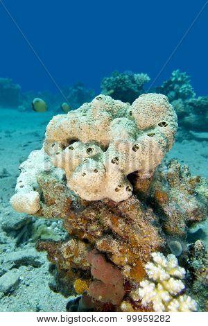 Great White Sea Sponge In Tropical Sea, Underwater