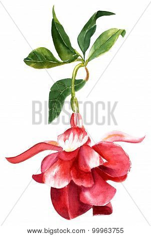 A vintage style watercolour drawing of a fuchsia flower on white background