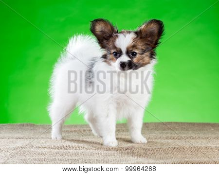 Portrait Cute Papillon Puppy