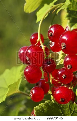 Branch Of Ripe Redcurrant Berries