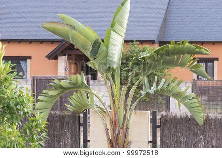 Strelitzia In A Garden