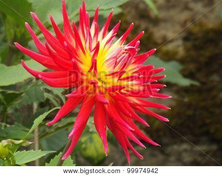 Dahlia Flower .