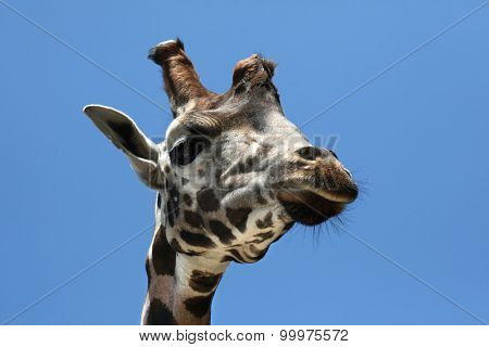 Rothschild's giraffe (Giraffa camelopardalis rothschildi). Wild life animal.