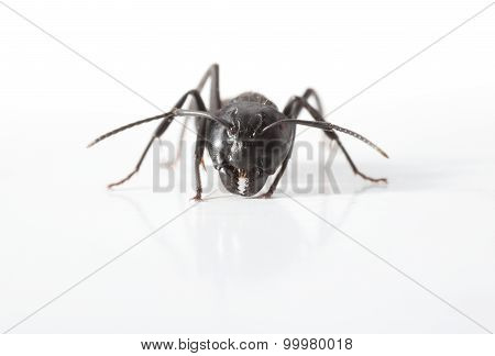 Macro Of Ant En Face
