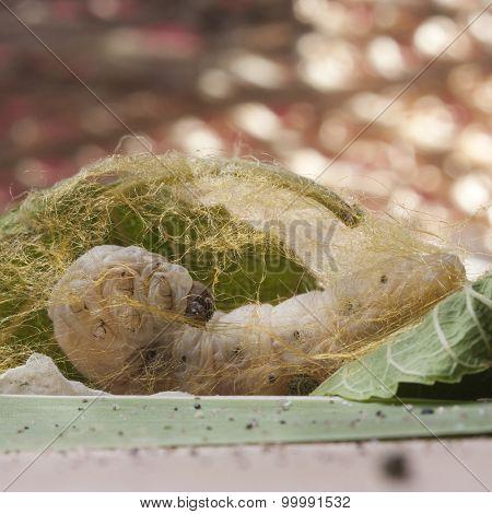 Silkworm Make Cocoon On Green Mulberry Leaf