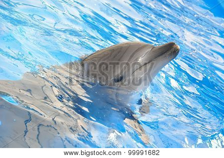 Bottlenose Dolphin In Blue Pool Water