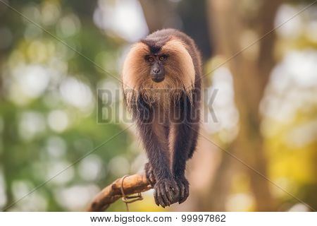 Lion tailed macaque monkey among the tree