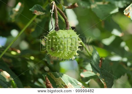 Chestnut fruits.