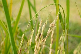 stock photo of rice  - Oryza sativa is the plant species most commonly referred to in English as rice. Rice is known to come in a variety of colors including: white rice brown rice black rice  purple rice and red rice. ** Note: Visible grain at 100%, best at smaller sizes - JPG
