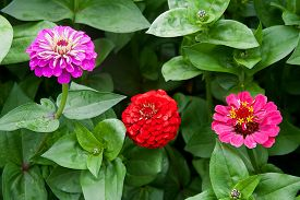 picture of zinnias  - Pink and red zinnia flowers on the natural background - JPG