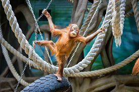 picture of orangutan  - Playful young Bornean orangutan at the zoo - JPG