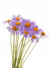 pic of feverfew  - bright beautiful fragrant pink lilac unusual bouquet of daisies with yellow center isolated on a white background - JPG