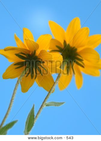 Yellow Twin Flowers poster